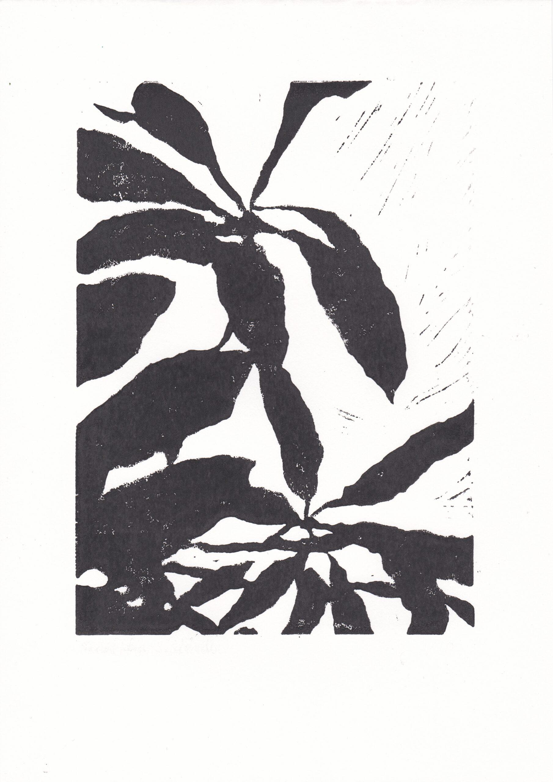Schefflera Shadow ZW#1
